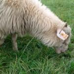 Owce jedzą trawę