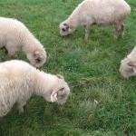 Błonia w Krakowie - wypas owiec