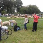 Krakowianie podziwiają owce
