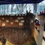 Lama w Żywej Szopce w Krakowie