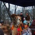 Żywa Szopka w Krakowie - wielbłąd