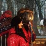 Wielbłąd w Żywej Szopce w Krakowie