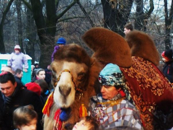 Wielbłąd atrakcją żywej szopki w Krakowie